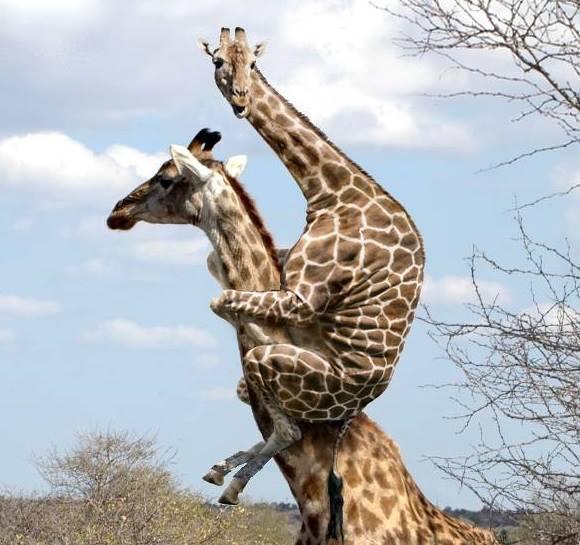 Giraffe Profile giraff...