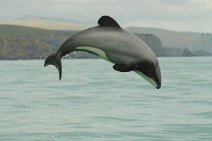 Maui-Dolphin1