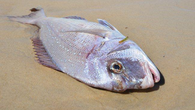 489235-dead-fish-seaford